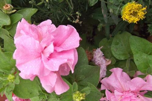 Wet Carnation