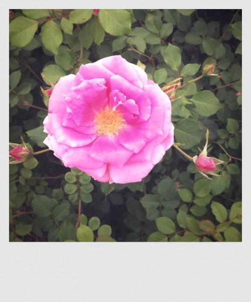 Another Durango Rose