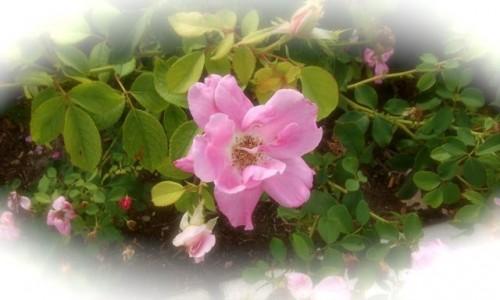 Durango Rose