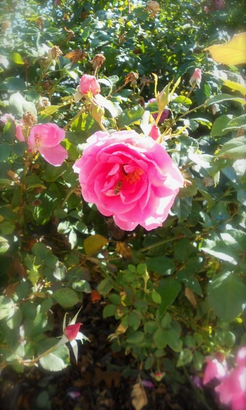 durango-roses