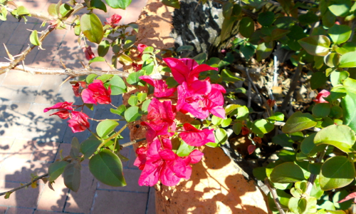 Spring Time Bexar Bougainvillea