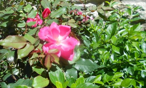 Partial Rose