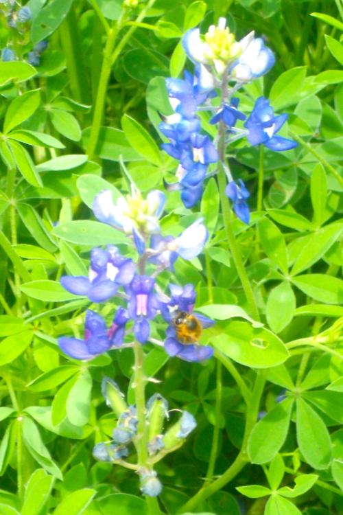 bluebonnets bee
